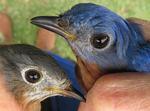 Male and female Eastern Bluebirds held by bird bander
