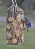 Male Eastern Bluebird feeding at bark butter feeder.