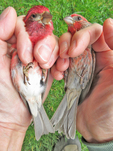 Male Purple Finch and male House Finch side-by-side for comparison