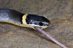 Ring-necked Snake eating earthworm