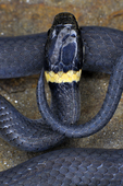 Ring-necked Snake warming on rock