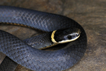 Ring-necked Snake face-to-face