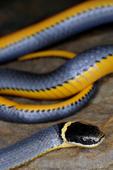 Ring-necked Snake showing bright orange underside