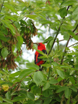 Male Scarlet Tanager in maple tree