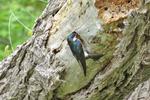 Tree Swallow at nest cavity