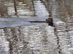 North American Beaver swimming in dam