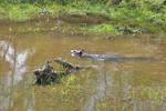 North American Beaver swimming