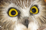 Northern Saw-whet Owl face and eyes