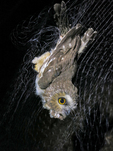 Northern Saw-whet Owl caught in mist net