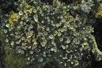 Pixie Cups lichen