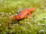 Red Eft, the juvenile stage of the Red Spotted Newt Salamander