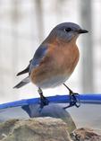 Banded Eastern Bluebird at bird bath