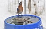Banded Eastern Bluebird drinking at bird bath