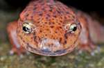 Red Salamander face-to-face on rock