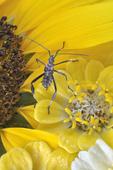 Assassin Bug nymph on zinnia and sunflower