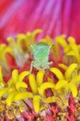 Buffalo Treehopper on zinnia flower