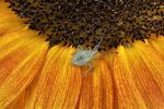 Assassin Bug nymph on a sunflower