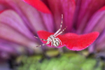 Small Northern Crab Spider on flower petal of a zinnia flower