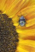 Green Stink Bug nymph on sunflower