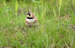 Horned Lark posing in grassy area