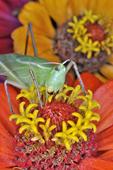 Sword-bearing Conehead on zinnia flower