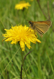 European Skipper Butterfly nectaring on yellow Cat's Ear/False Dandelion flower