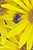 Harlequin Bug on a Prairie Sunflower