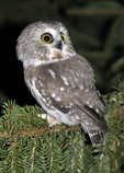Northern Saw-whet Owl perched in spruce tree