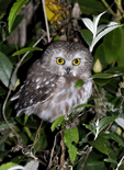 Northern Saw-whet Owl perched in bush