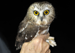 Northern Saw-whet Owl held by bird bander