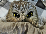 Northern Saw-whet Owl in cloth holding bag