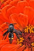 Blue-winged Wasp on zinnia flower