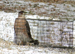 Cooper's Hawk at bird ground trap that has a Dark-eyed Junco caught inside