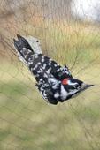 Male Downy Woodpecker caught in bird banding mist net