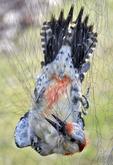 Female Red-bellied Woodpecker caught in mist net