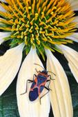 Small Milkweed Bug on coneflower petal