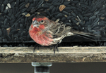 Male House Finch at sunflower seed feeder