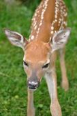 Newborn White-tailed Deer fawn