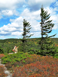 Red Spruce flag trees