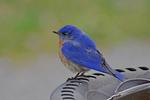 Male Eastern Bluebird at bird bath