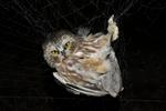 Northern Saw-whet Owl caught in bird bander's mist net