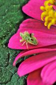 Ambush Bug on zinnia flower