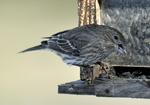 Female or first year male House Finch on bird feeder