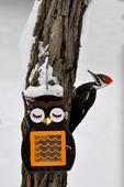 Pileated Woodpecker at owl bird feeder