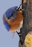 Male Eastern Bluebird on bark butter bird feeder