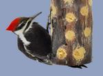 Pileated Woodpecker on bark butter bird feeder