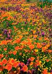 Golden California poppies, purple owl's-clover, and yellow goldfields provide a vivid springtime display in the western Mojave Desert.