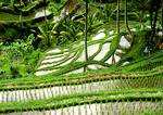 Rice terraces form stairstepping patterns on the intensely-cultivated hillsides of central Bali.