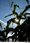 Maize (corn) plant in sunlight. Maize, a grass, is one of the major agricultural food plants worldwide.