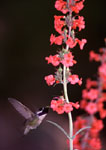 Costa's Hummingbird and Beardtongue